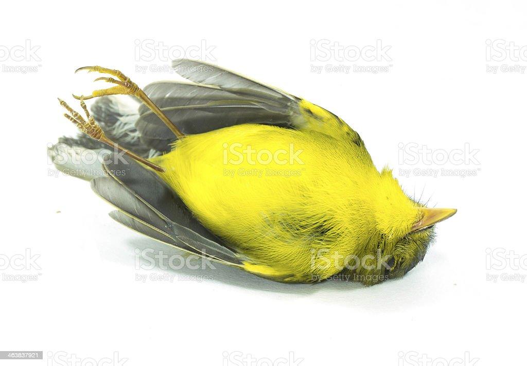 dead yellow bird stock photo
