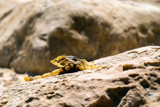 Dead yellow scorpion (Leiurus quinquestriatus) lies belly to the top on a stone surface Dead yellow scorpion (Leiurus quinquestriatus) lies belly to the top on a stone surface buthidae stock pictures, royalty-free photos & images