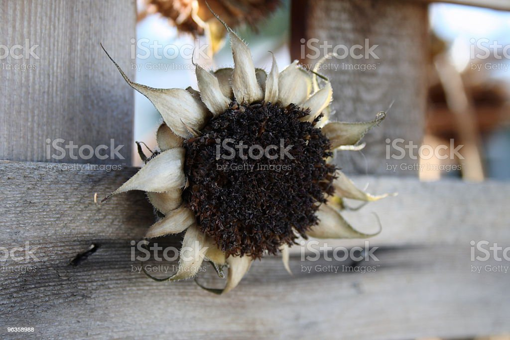 deadhead sunflower peaks through wood fence royalty-free stock photo