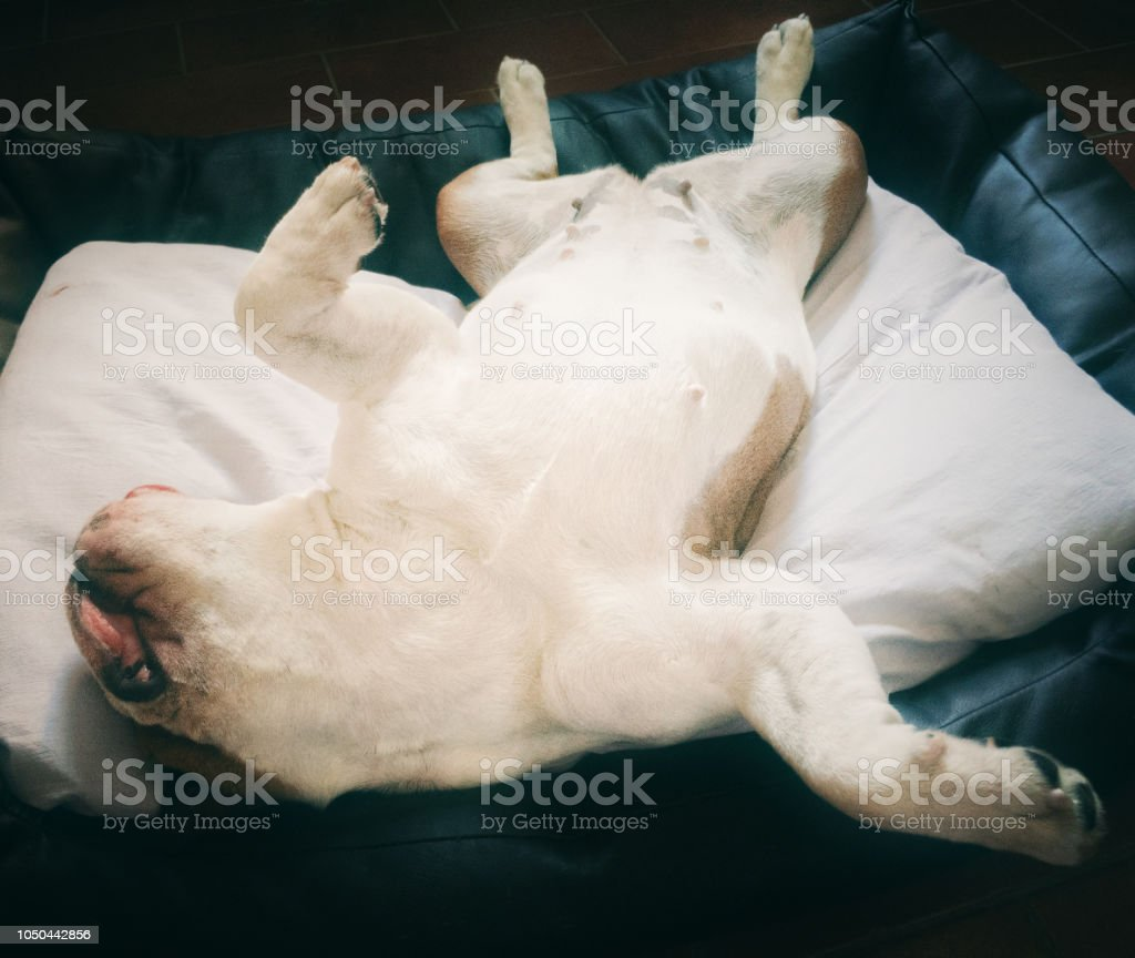 dead-like dog sleeps in her bed stock photo