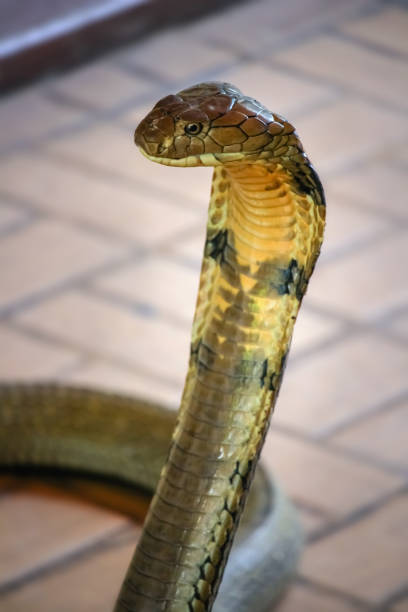 deadly king cobra snake - snake strike stock photos and pictures