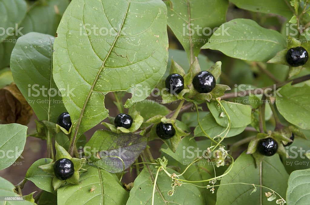 Deadly Nightshade (Atropa bella-donna) berry royalty-free stock photo