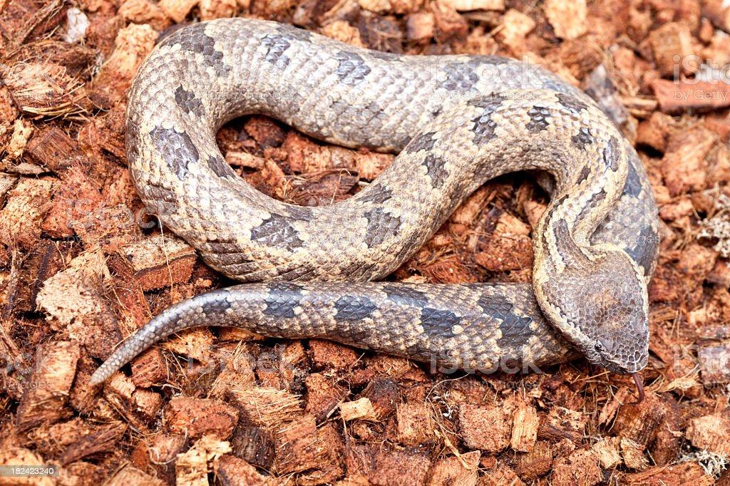 Deadly Snake stock photo