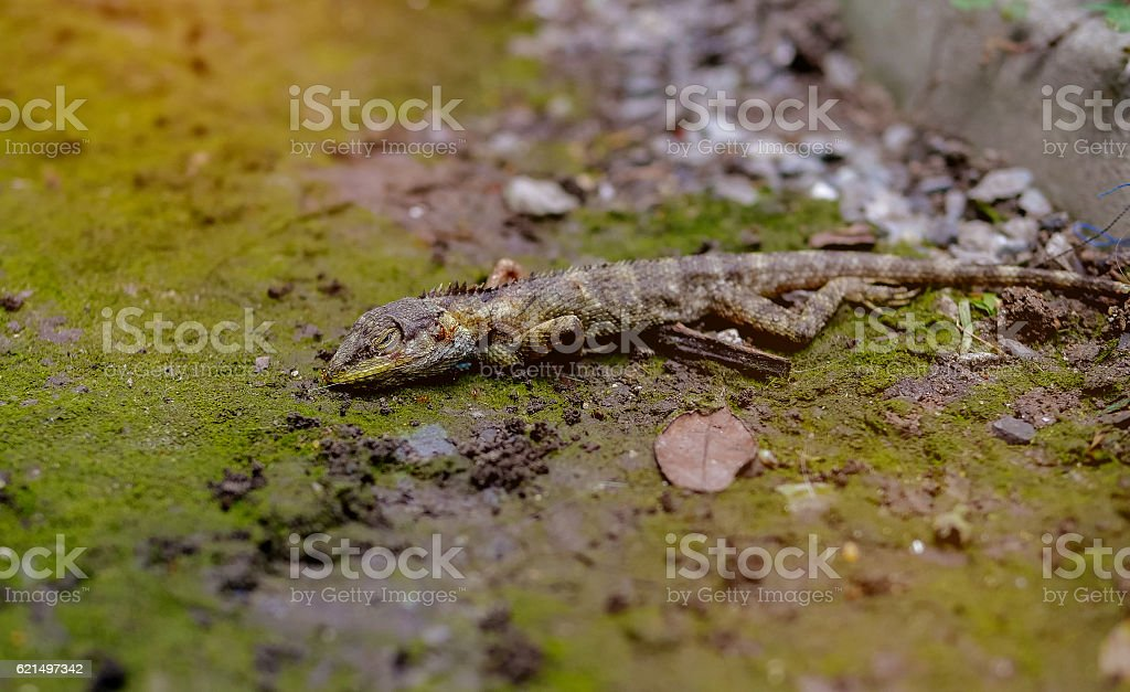 Death. an asian chameleon with ant stock photo