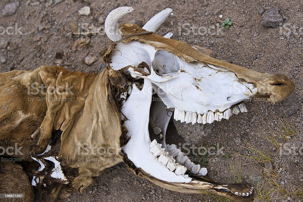 death body of cow stock photo