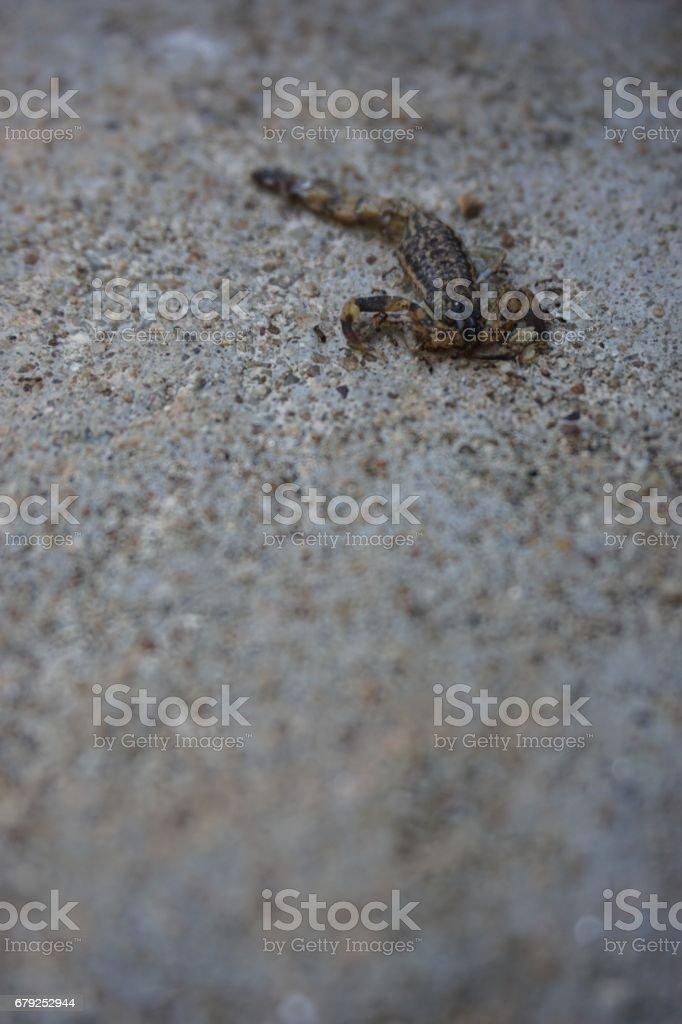 death brown scorpion photo libre de droits