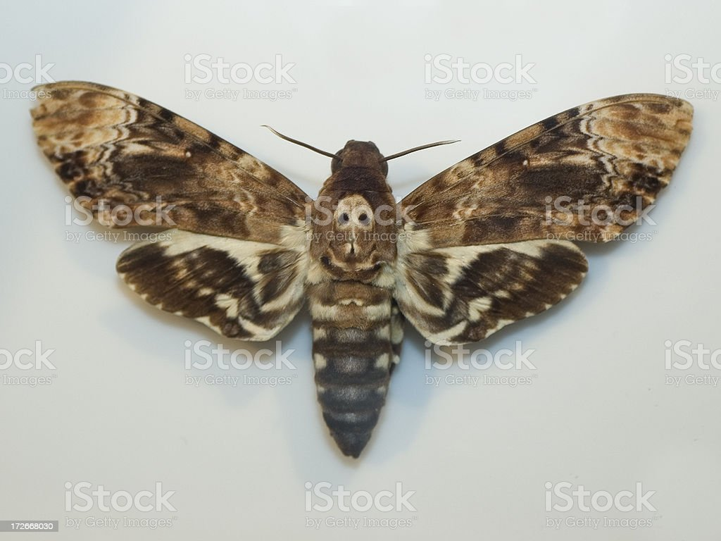 Death Head Sphinx Moth royalty-free stock photo