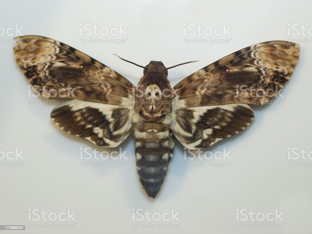 Death Head Sphinx Moth stock photo