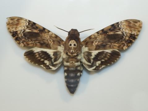 Death Head Sphinx Moth Stock Photo - Download Image Now