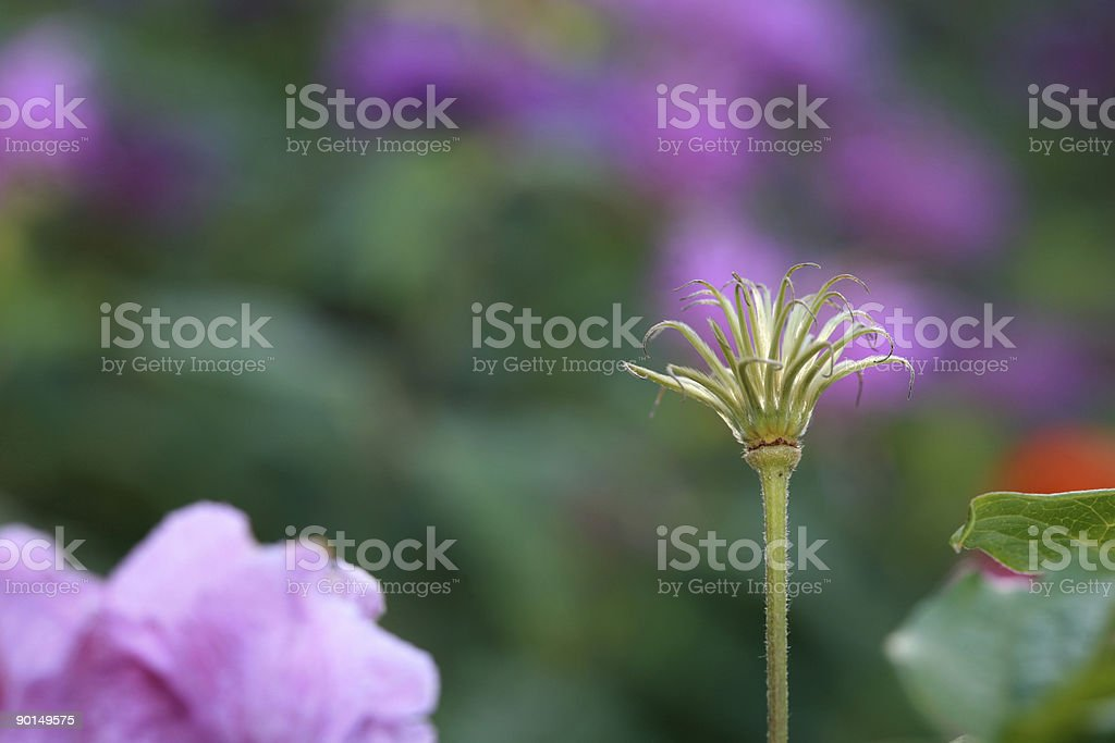 Death of Clematis stock photo