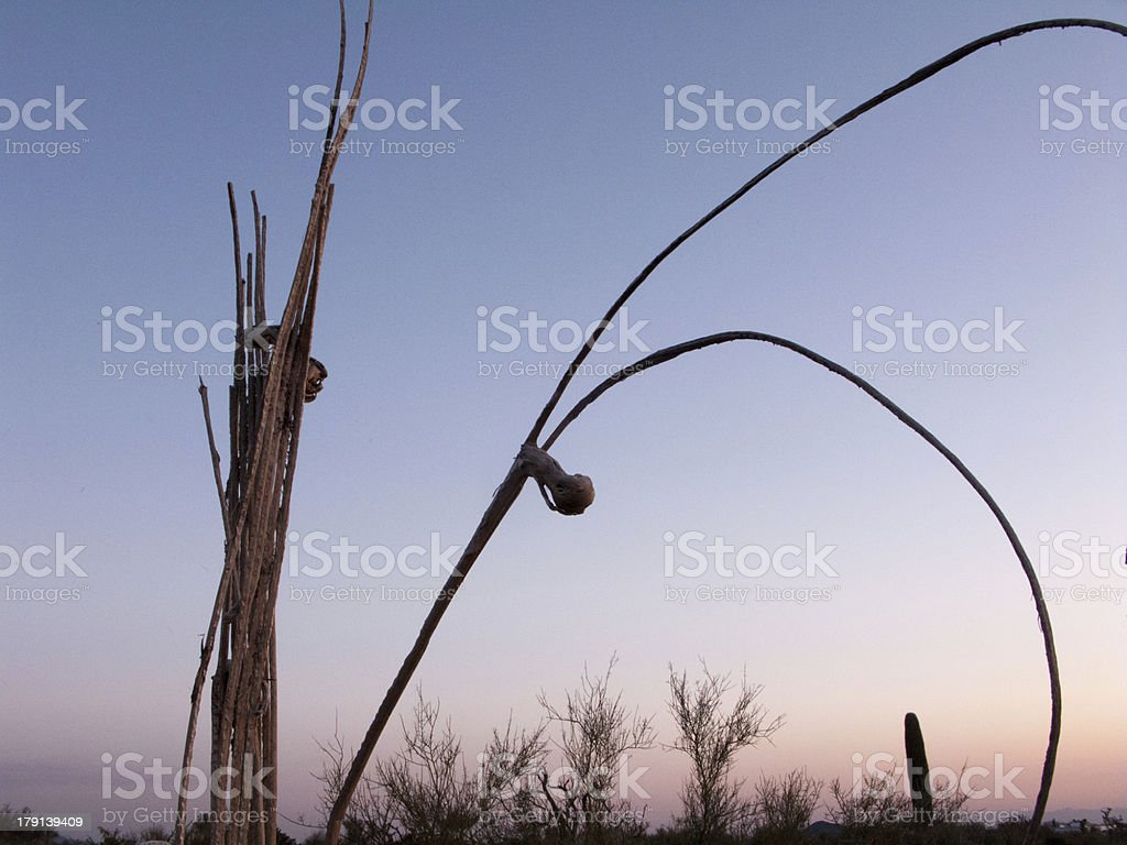 Death of Saguaro royalty-free stock photo
