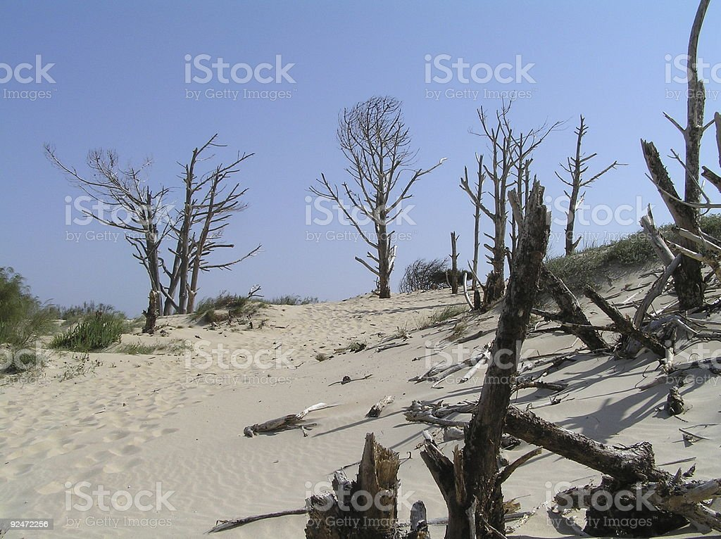 death pine trees in a dune royalty-free stock photo