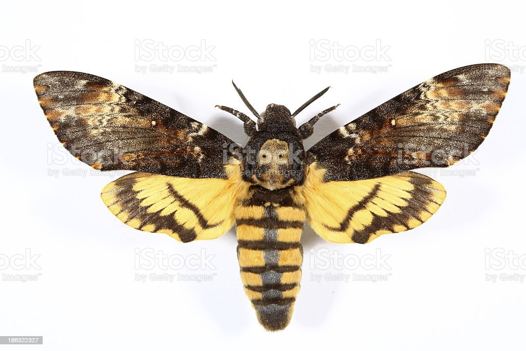 Death's-head Hawkmoth (Acherontia atropos) stock photo