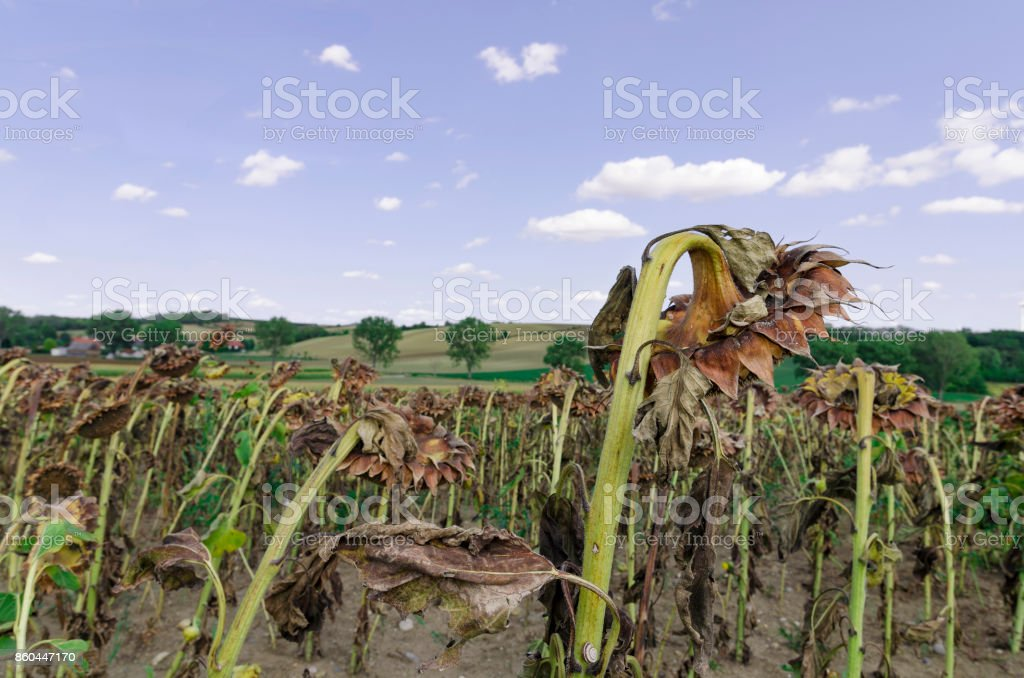 Decayed sunfowers field stock photo