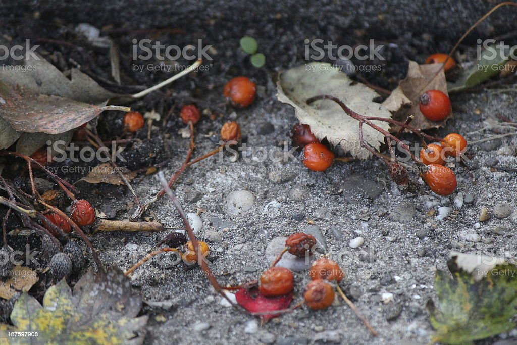Decaying berries and leaves of the Whitebeam tree stock photo