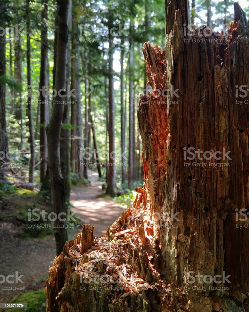 A decaying old stump catching a sunbeam stock photo