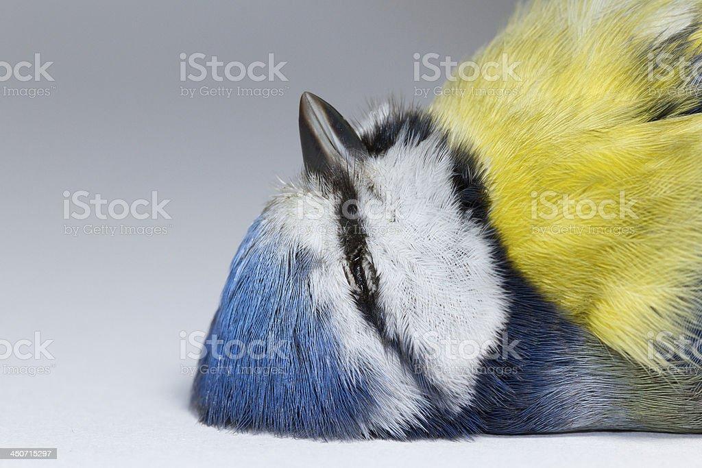 Deceased blue tit stock photo