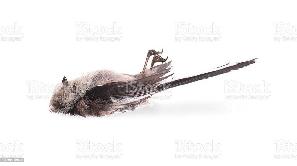 Deceased long-tailed tit stock photo