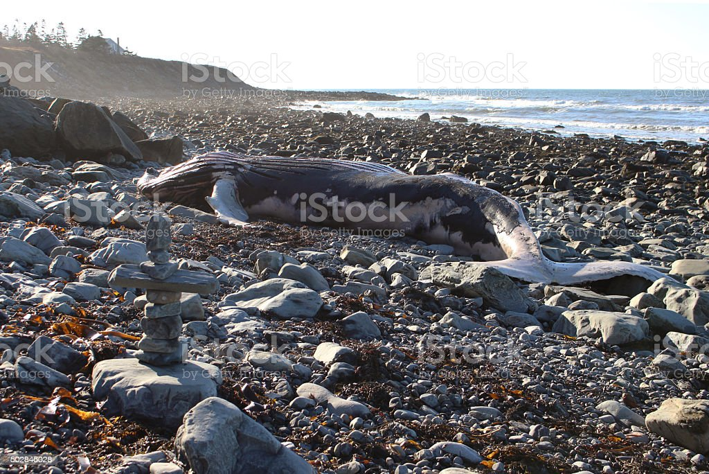 Deceased Whale Washed Up on a Rocky Beach stock photo