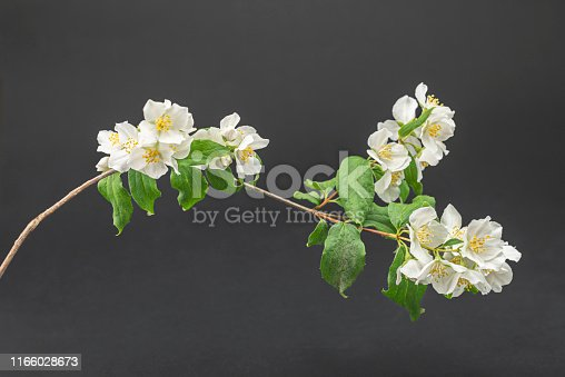 "English dogwood is also known as sweet mock-orange and its latin name, Philadelphus coronarius. Is an European scented flowering bush that blooms late spring/ early summer. In some countries is also known as ""fake jasmine"".  The flower meaning is actually ""deceit"".  Easy image to edit"