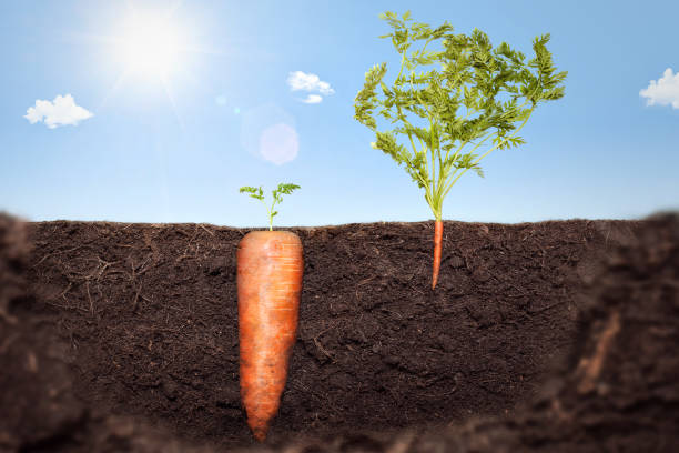 Deception Concept Metaphor showing two carrots growing in the earth. One carrot has tiny leaves above ground and a large body. Whereas the other carrot has massive leaves above ground but only a very small body. apparently stock pictures, royalty-free photos & images