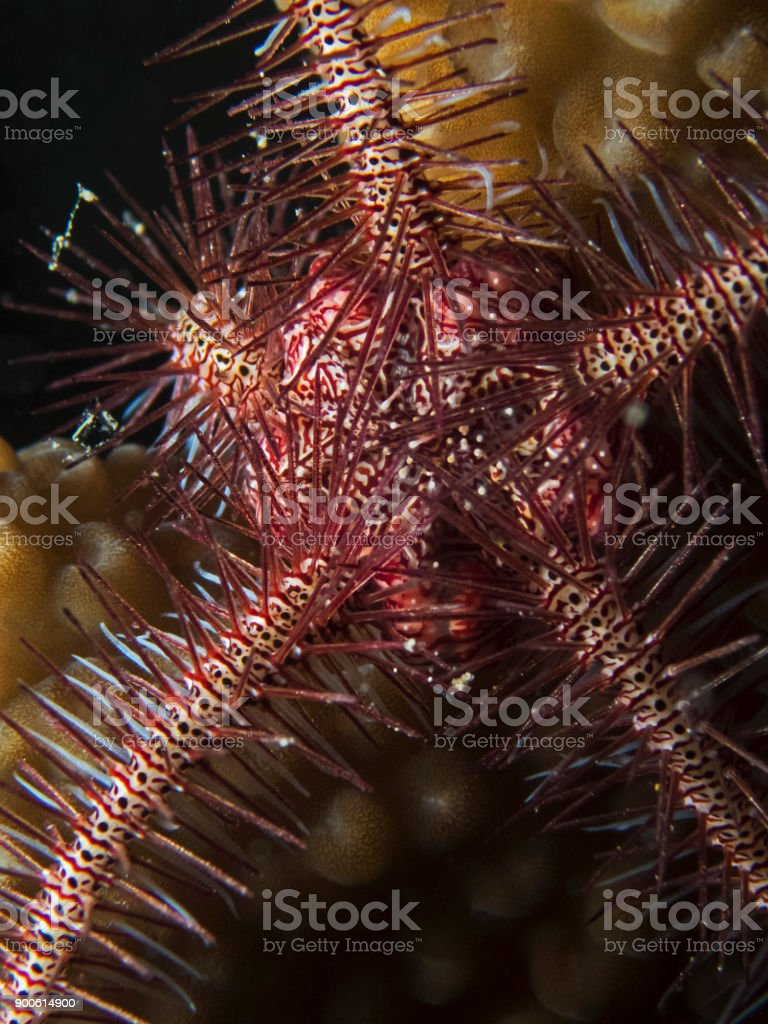 Deceptive brittle star (Ophiothrix deceptor) stock photo