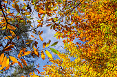 Chestnuts and beech trees colorful foliage in autumnal deciduous forest