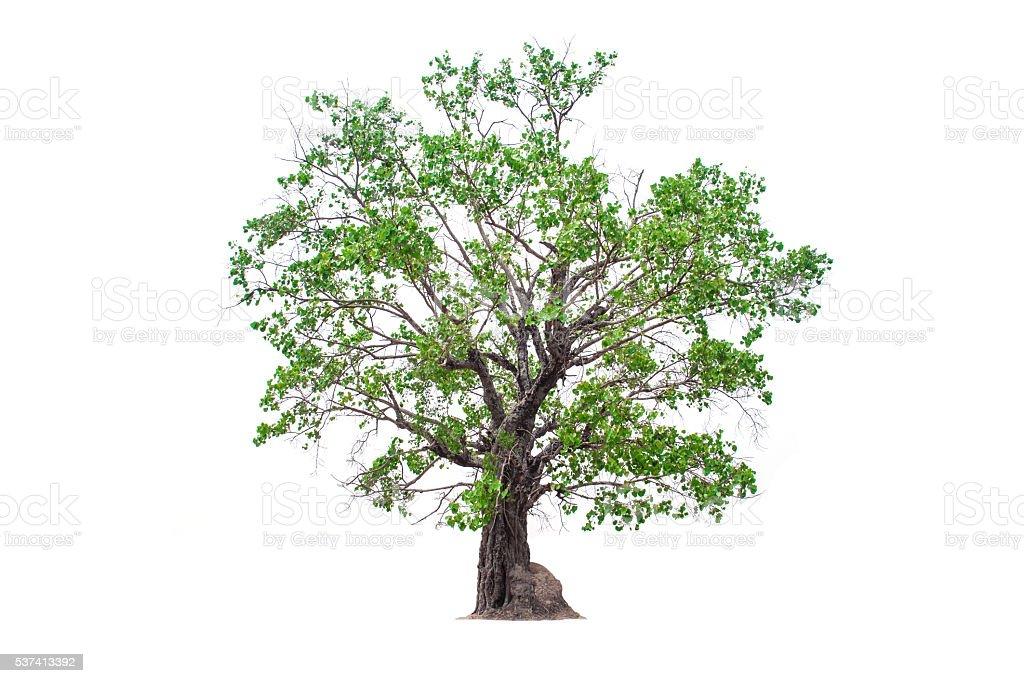 deciduous banyan tree stock photo