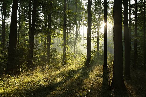 Deciduous forest at dawn stock photo