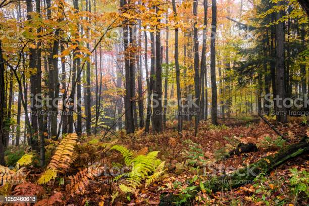 Photo of Deciduous forest on a foggy fall morning