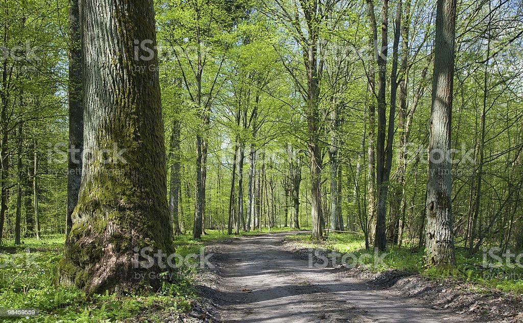 Deciduous stand of Bialowieza Forest at sunnny springtime day royalty-free stock photo