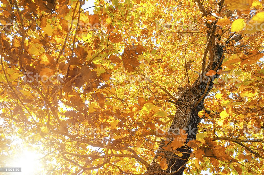 deciduous tree in autumn colors royalty-free stock photo