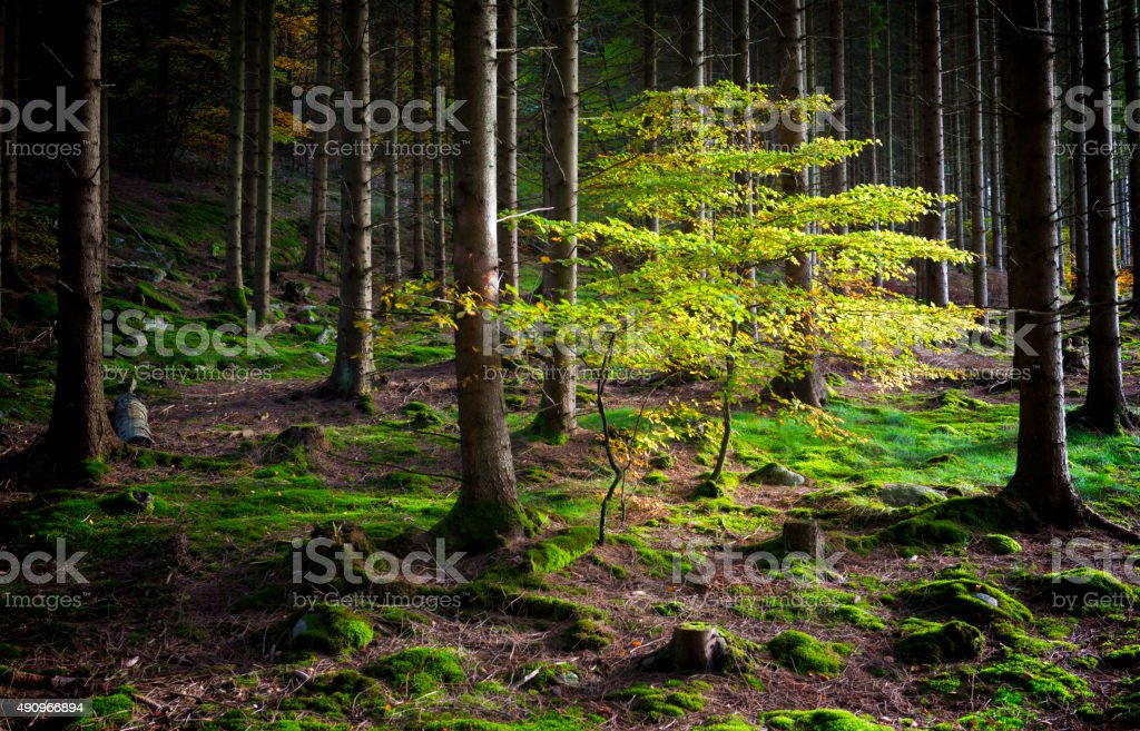Deciduous tree in fir tree forest stock photo