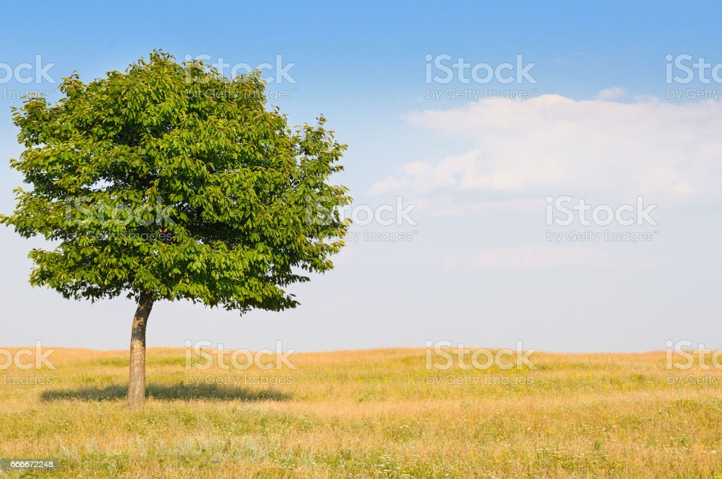 deciduous tree in the meadow and blue sky stock photo