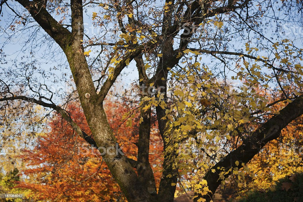 Deciduous trees in fall. royalty-free stock photo