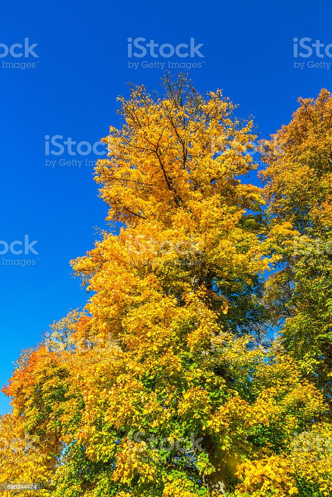 Deciduous trees with autumn colors royalty-free stock photo