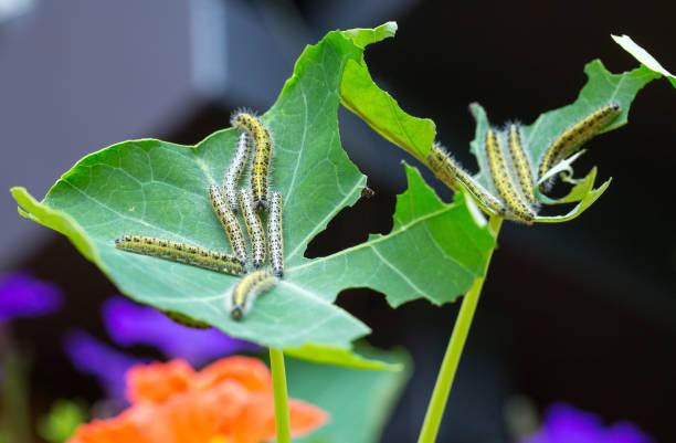 Ein dezimiertes grünes Nasturtiumblatt, das mit Raupen bedeckt ist – Foto
