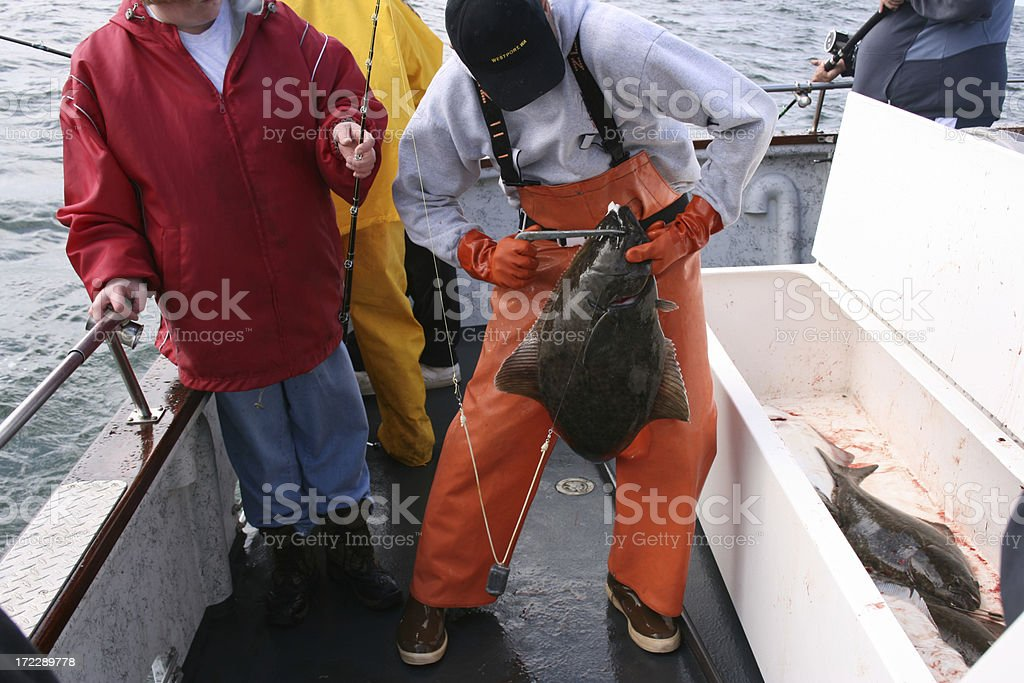 Deck hand removes hook from halibut royalty-free stock photo