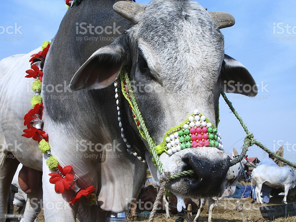 Decorated Bull stock photo