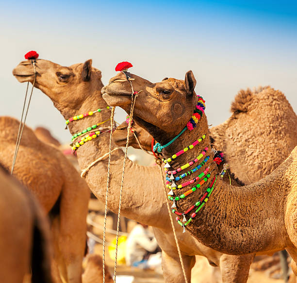 Decorated camel at the Pushkar fair. Rajasthan, India stock photo