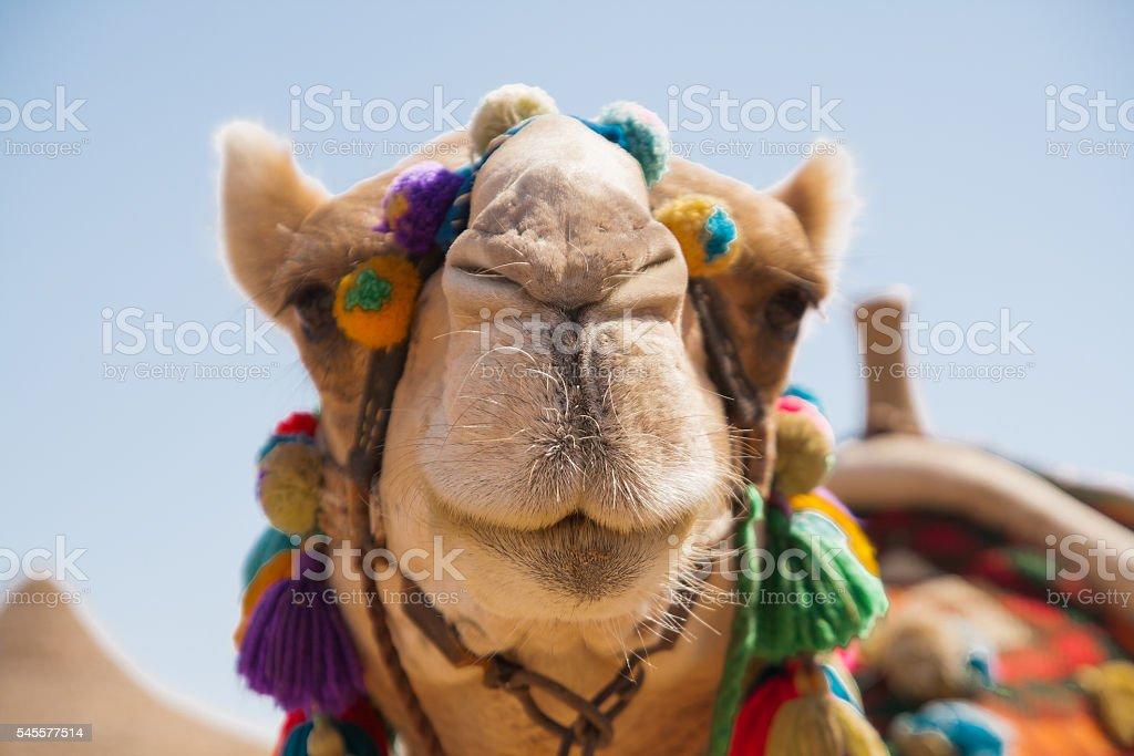 Decorated camel head stock photo
