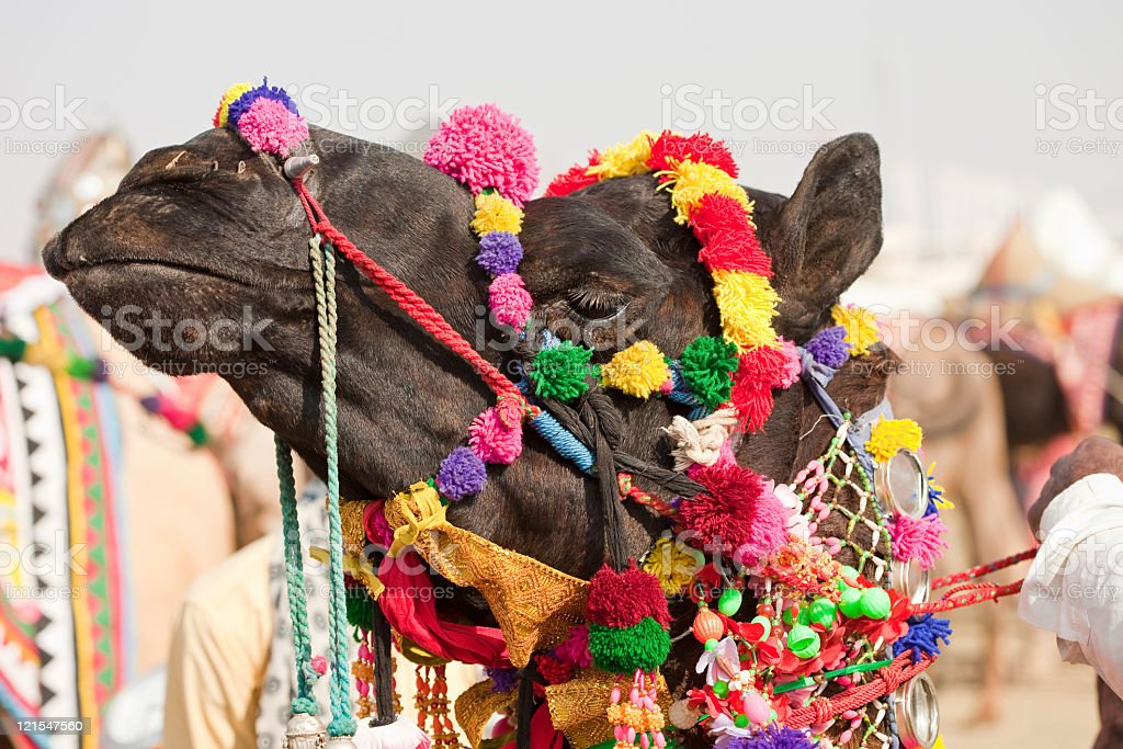 Decorated Camel stock photo
