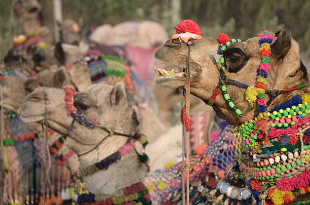decorated camel, Pushkar Camel Fair, India stock photo