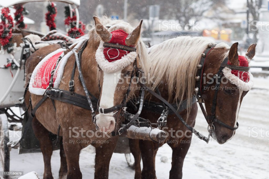 Decorated Christmas Horses And Carriage Beautiful Horses In The Street Stock Photo Download Image Now Istock