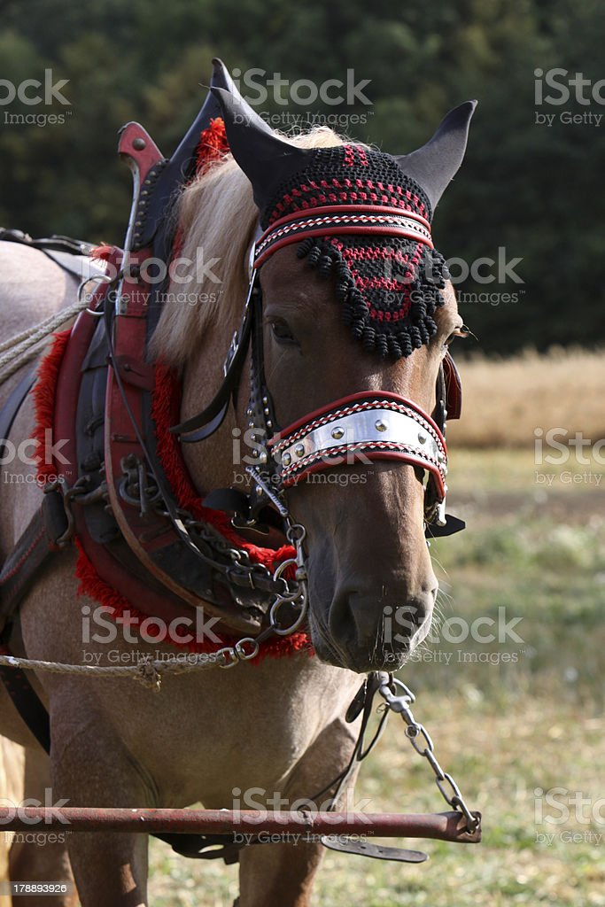 Decorated cold blooded horse stock photo