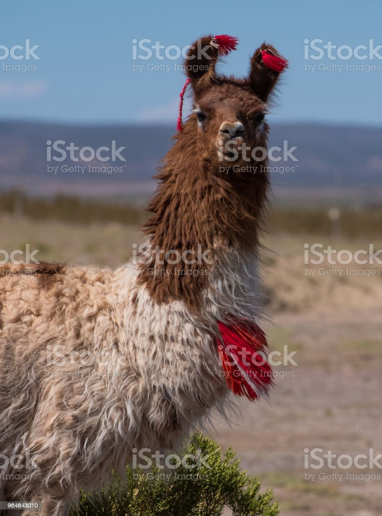 Decorated llama royalty-free stock photo