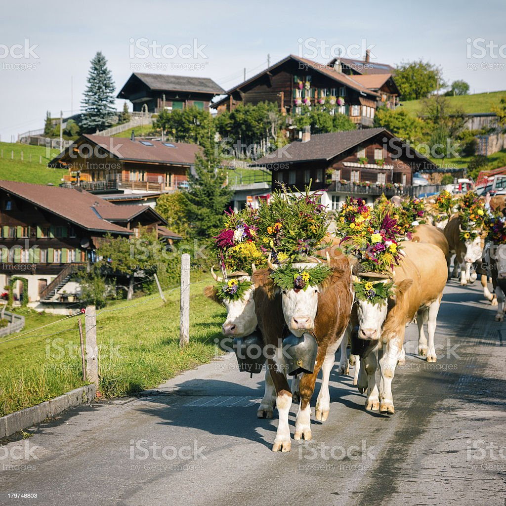 Decorated Simmental Cattle arriving at village stock photo