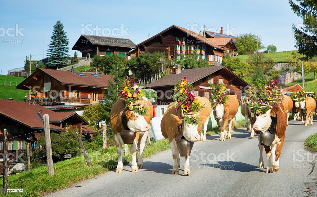 Decorated Simmental cows walking down to village for Oktoberfest Switzerland stock photo