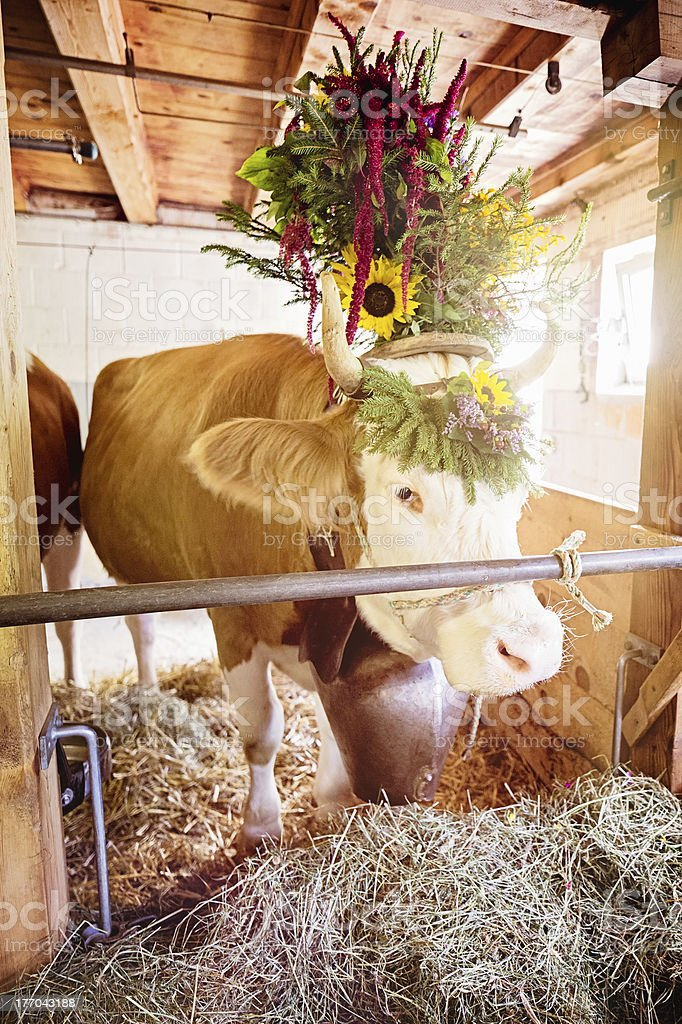 Decorated Swiss Simmental Cow in Pen royalty-free stock photo