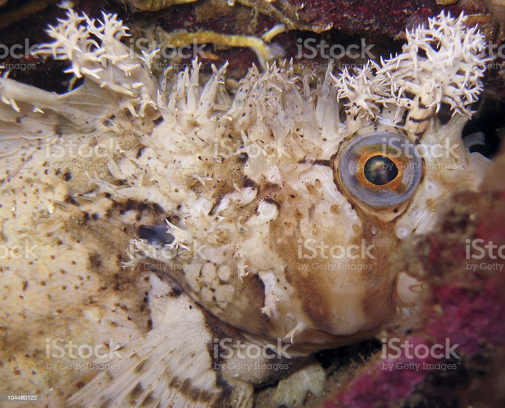 Decorated warbonnet hiding behind rock; macro stock photo